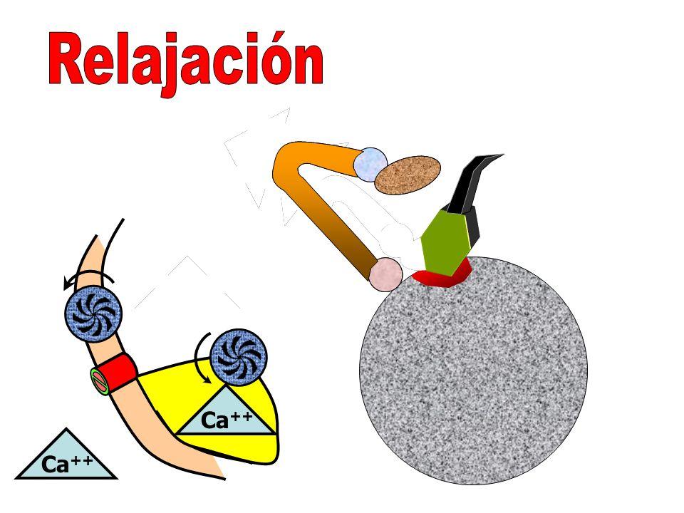 Relajación Contracción Ca++ Ca++ Ca++ Ca++ Ca++