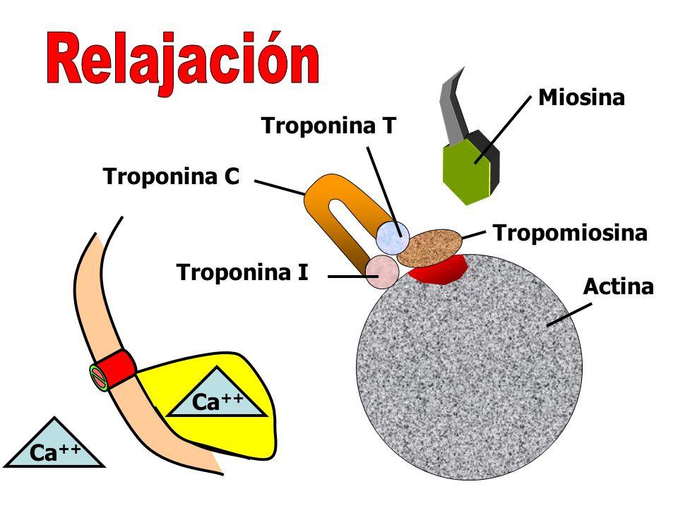 Relajación Miosina Troponina T Troponina C Tropomiosina Troponina I