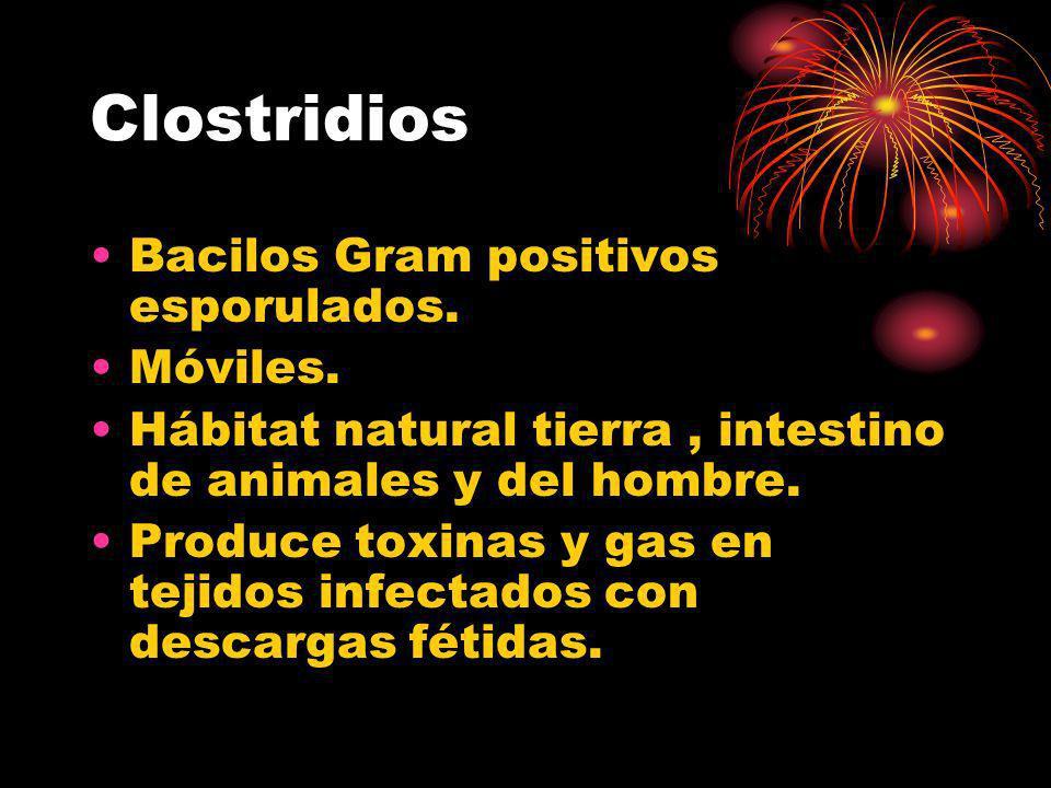 Clostridios Bacilos Gram positivos esporulados. Móviles.