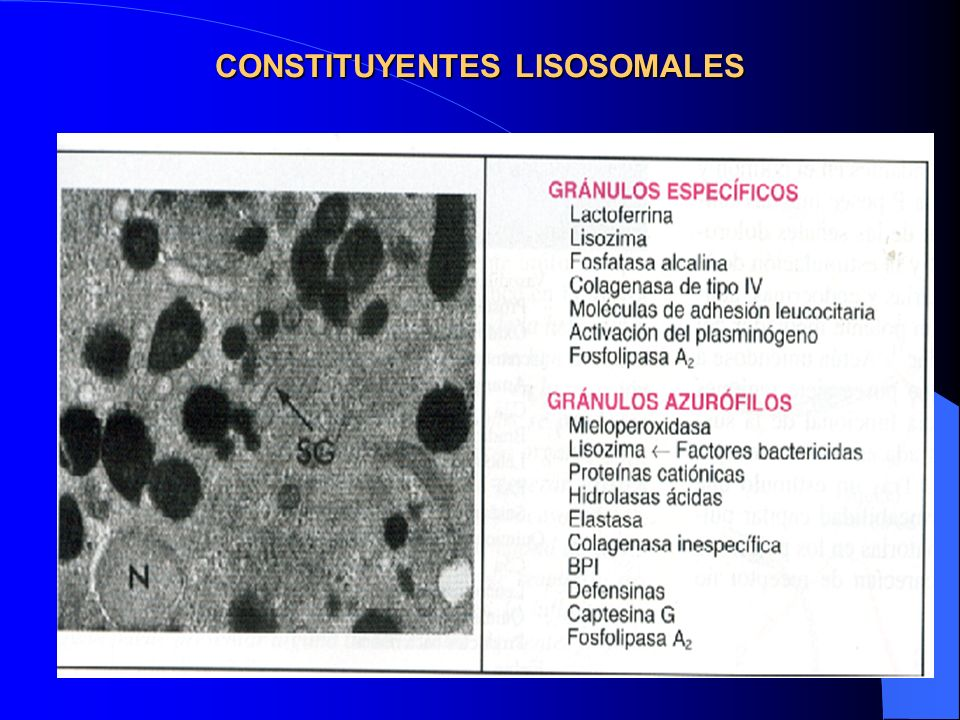 CONSTITUYENTES LISOSOMALES