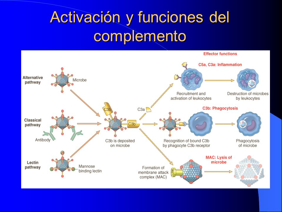 Activación y funciones del complemento