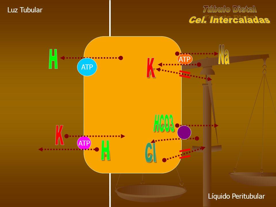 Na H K K H Cl Túbulo Distal Cel. Intercaladas HCO3 Luz Tubular ATP ATP