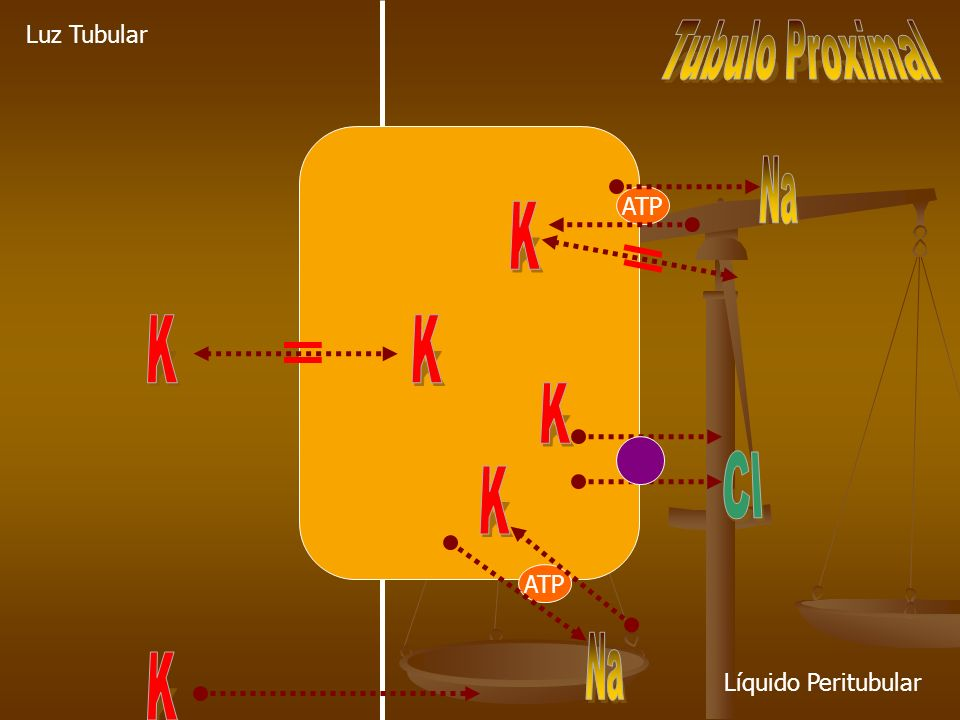 Na K K K K Cl K Na K Tubulo Proximal Luz Tubular ATP ATP