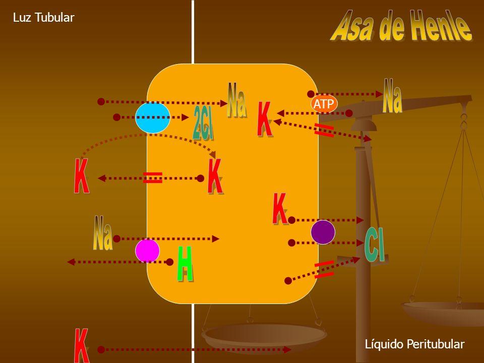 Na Na K 2Cl K K K Na Cl H K Asa de Henle Luz Tubular ATP