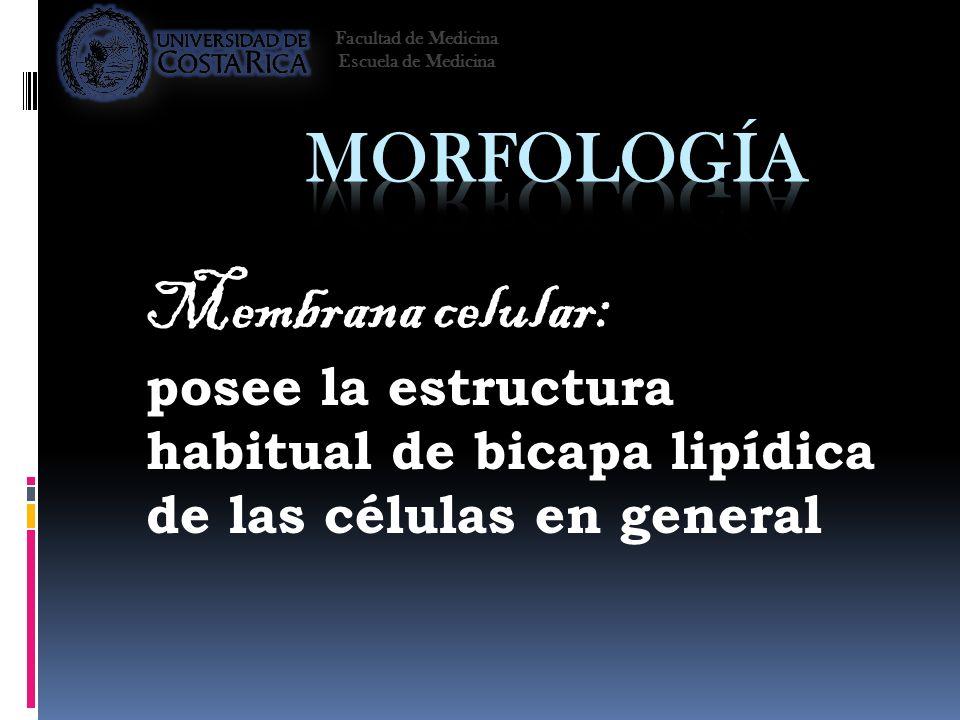 Morfología Membrana celular: