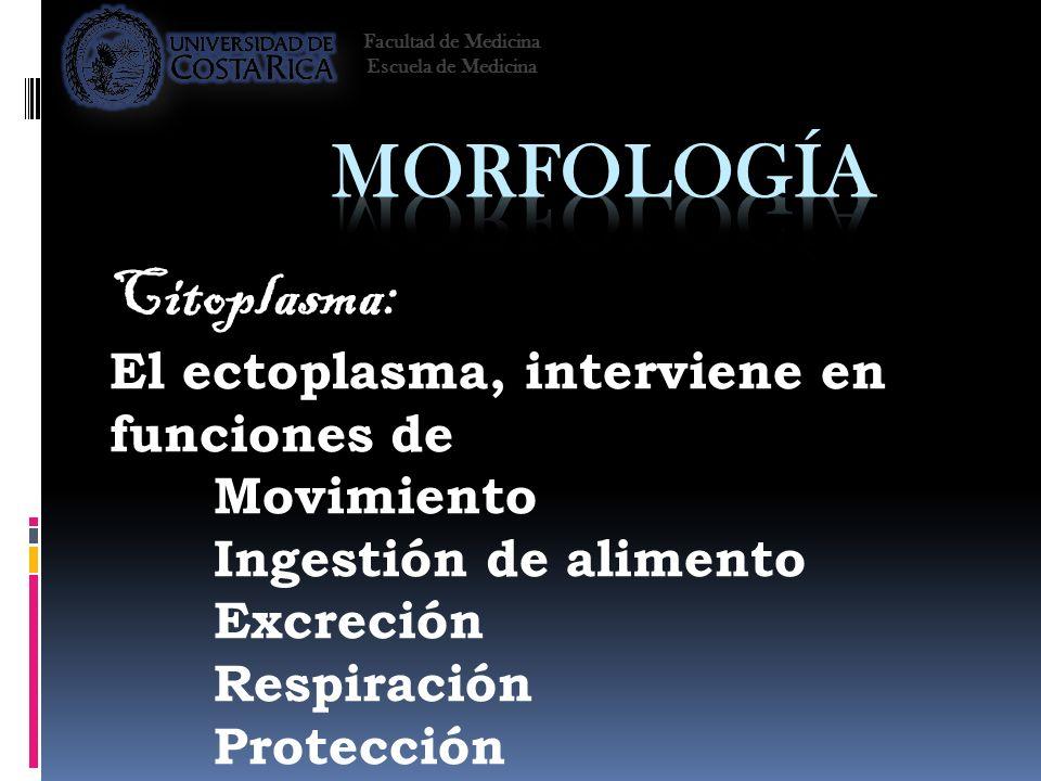 Morfología Citoplasma: El ectoplasma, interviene en funciones de