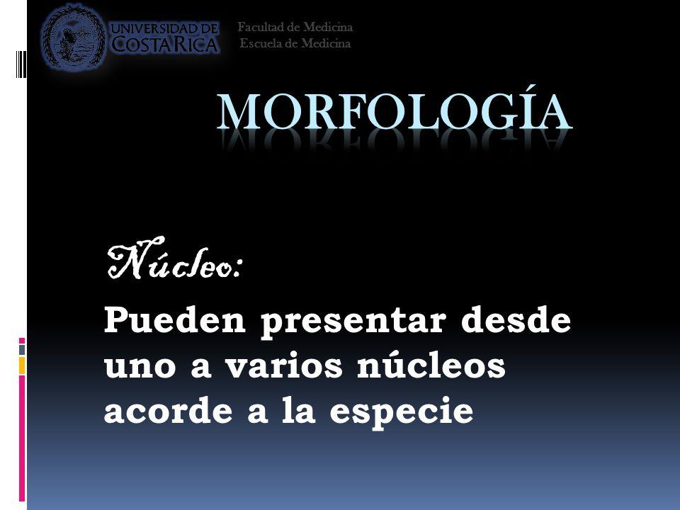 Facultad de Medicina Escuela de Medicina. Morfología. Núcleo: Pueden presentar desde uno a varios núcleos acorde a la especie.