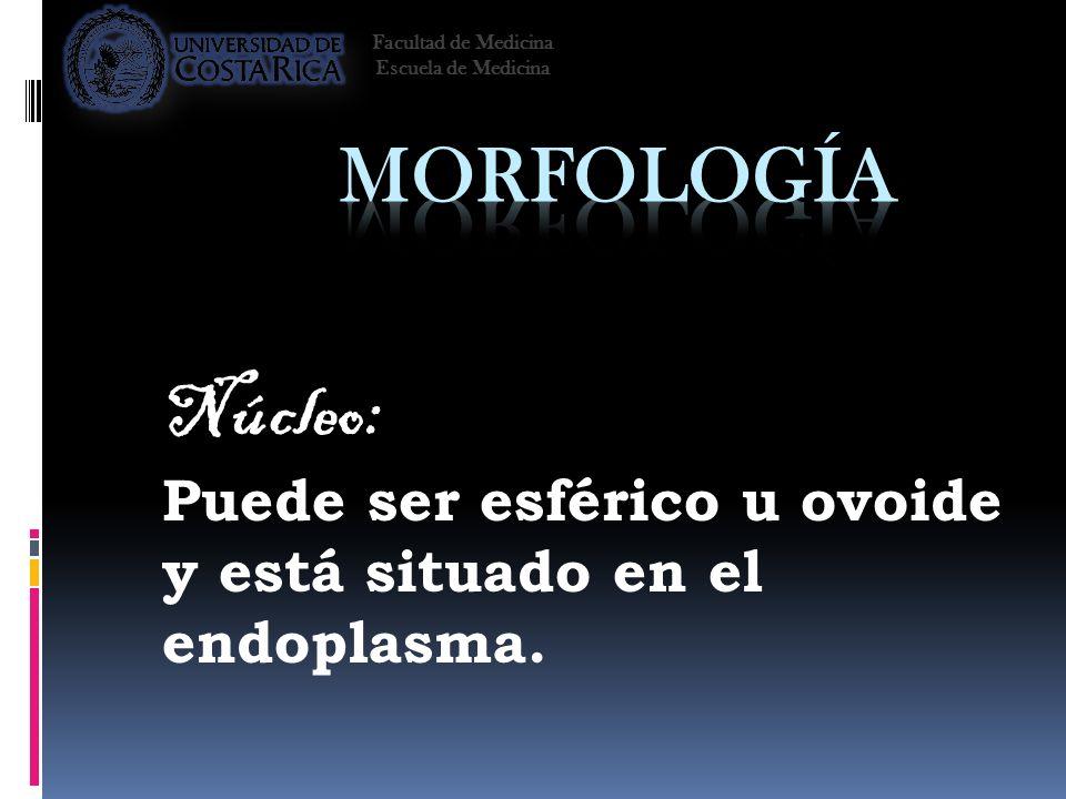 Núcleo: Puede ser esférico u ovoide y está situado en el endoplasma.