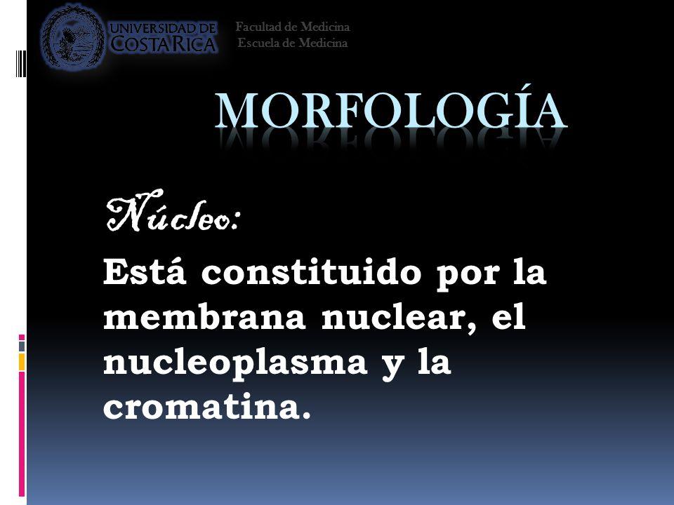 Facultad de Medicina Escuela de Medicina. Morfología. Núcleo: Está constituido por la membrana nuclear, el nucleoplasma y la cromatina.