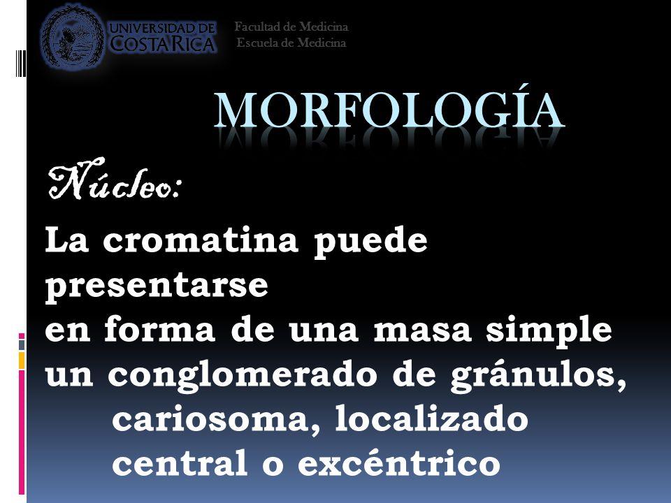 Morfología Núcleo: La cromatina puede presentarse