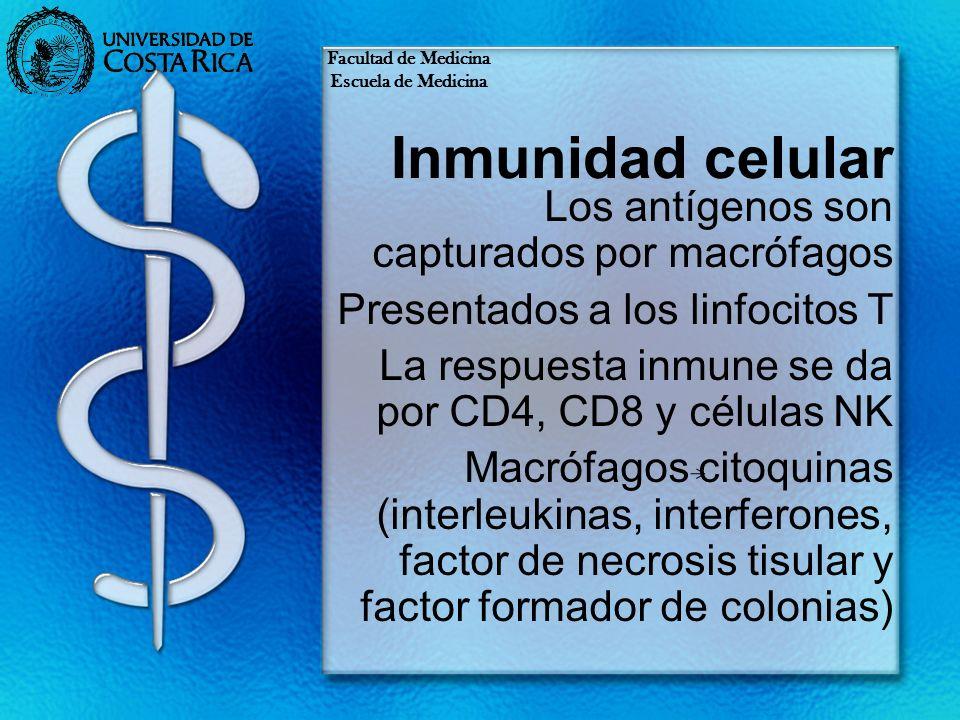 Inmunidad celular Los antígenos son capturados por macrófagos