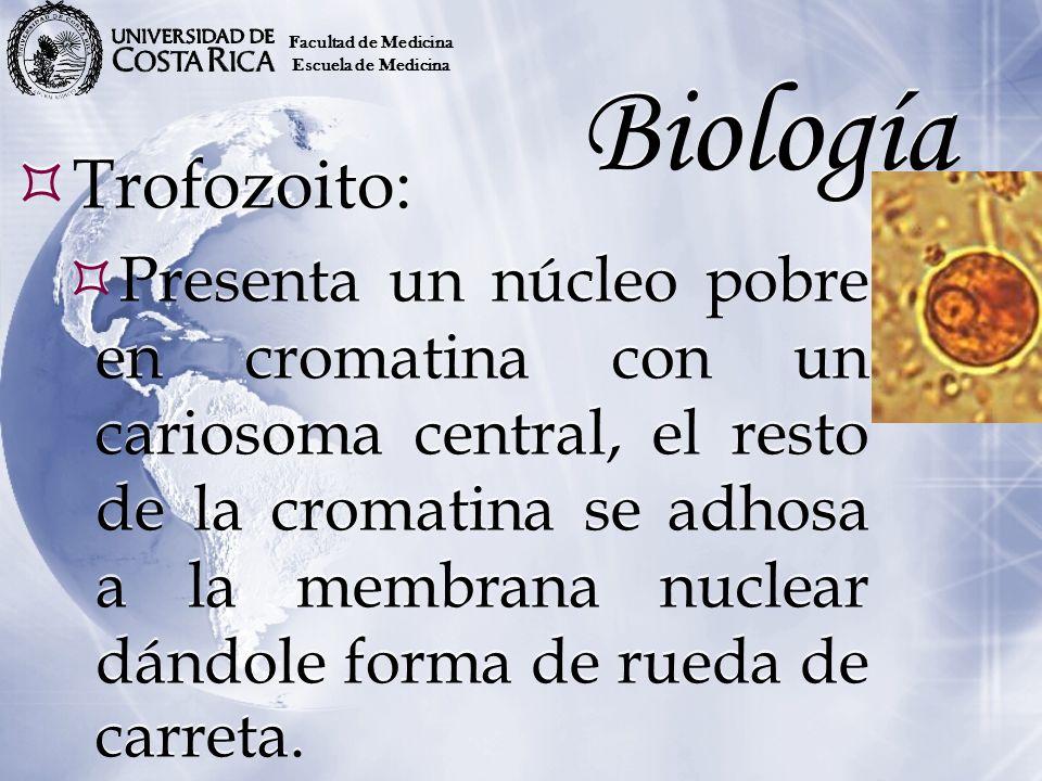 Facultad de MedicinaEscuela de Medicina. Biología. Trofozoito: