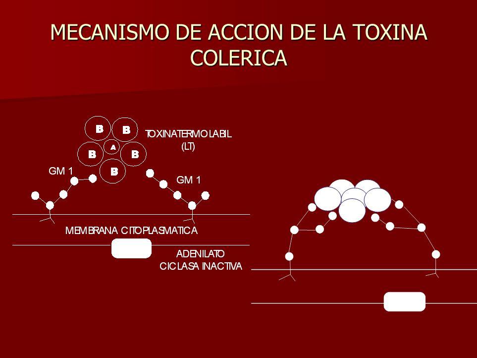 MECANISMO DE ACCION DE LA TOXINA COLERICA