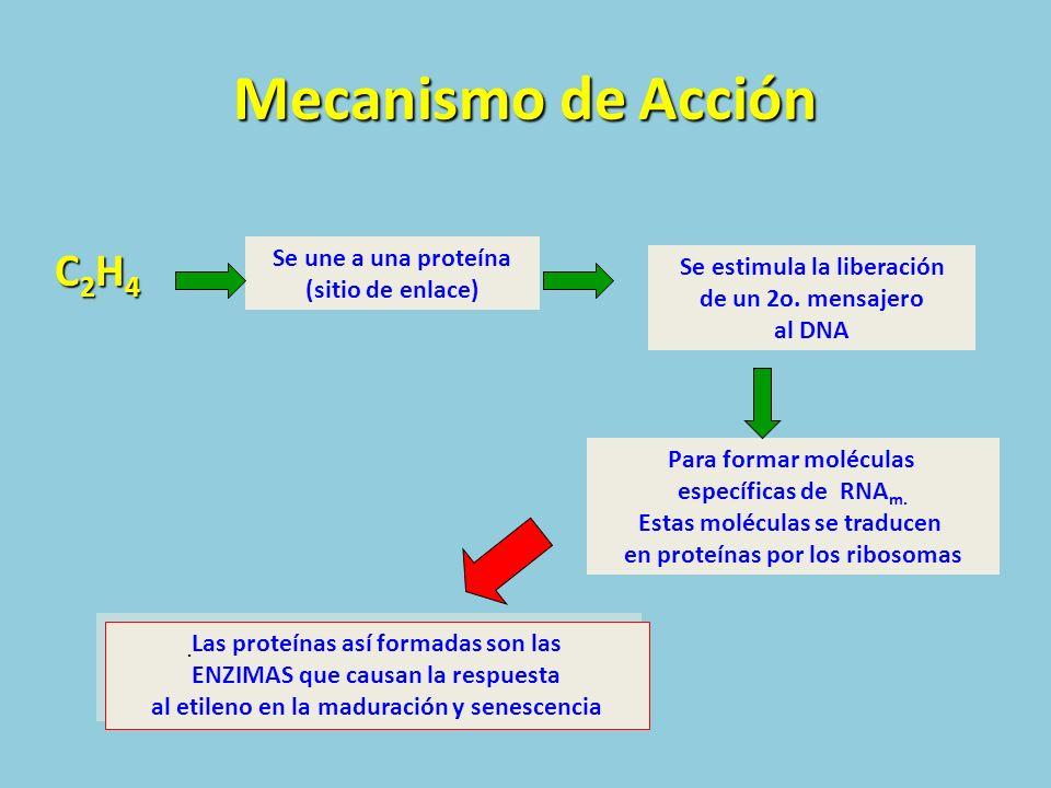 Mecanismo de Acción C2H4 Se une a una proteína