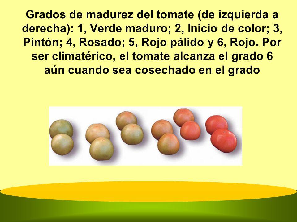 Grados de madurez del tomate (de izquierda a derecha): 1, Verde maduro; 2, Inicio de color; 3, Pintón; 4, Rosado; 5, Rojo pálido y 6, Rojo.