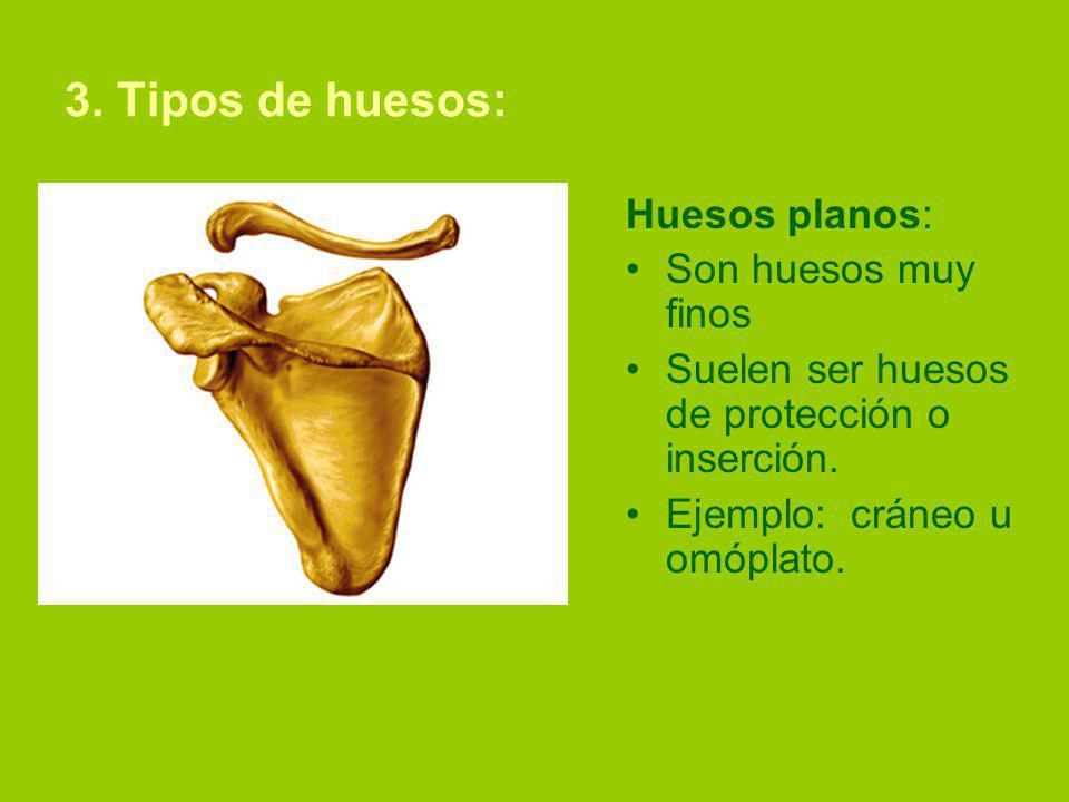 3. Tipos de huesos: Huesos planos: Son huesos muy finos