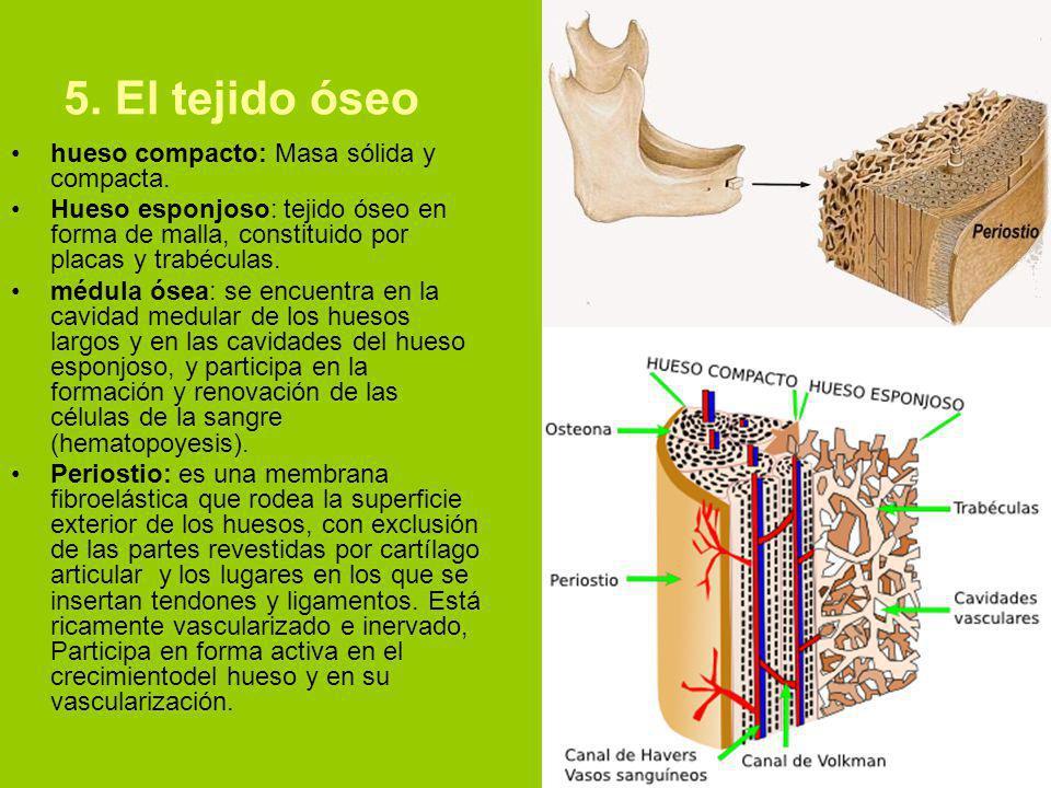 5. El tejido óseo hueso compacto: Masa sólida y compacta.
