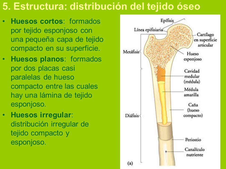 5. Estructura: distribución del tejido óseo