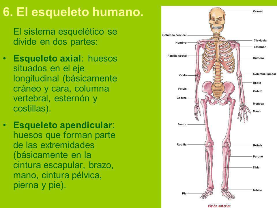 6. El esqueleto humano. El sistema esquelético se divide en dos partes: