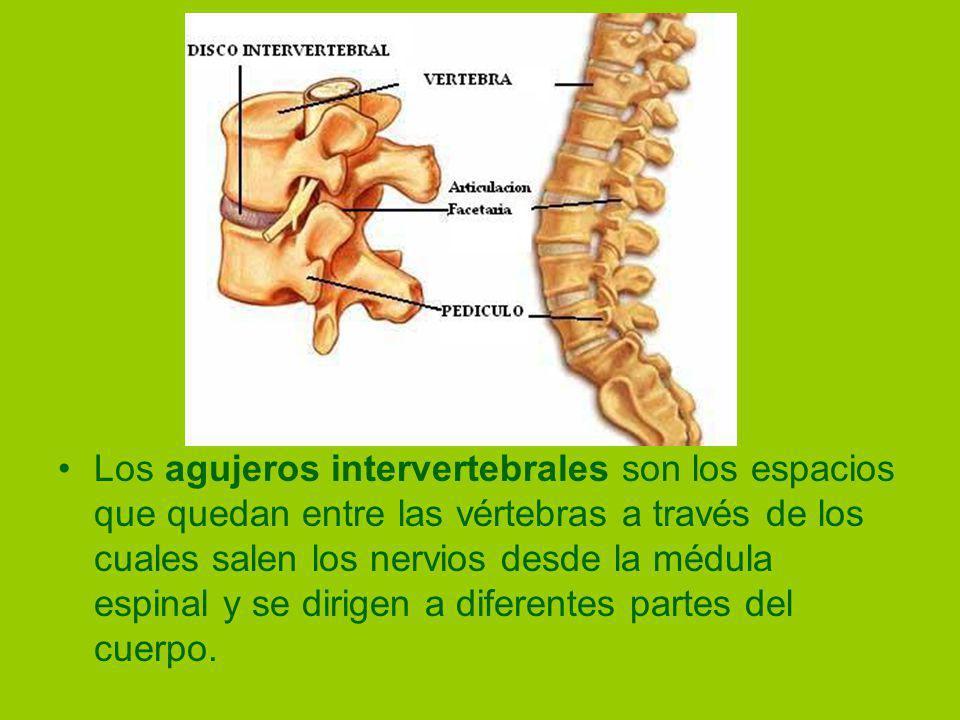 Los agujeros intervertebrales son los espacios que quedan entre las vértebras a través de los cuales salen los nervios desde la médula espinal y se dirigen a diferentes partes del cuerpo.