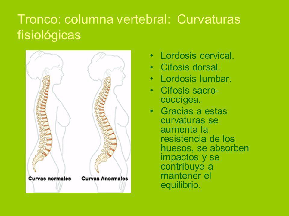 Tronco: columna vertebral: Curvaturas fisiológicas