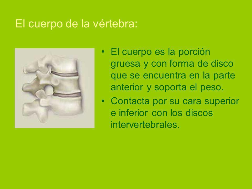 El cuerpo de la vértebra: