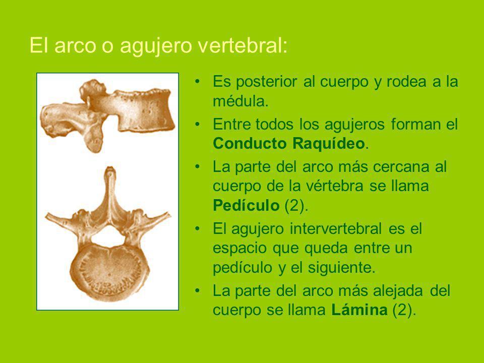 El arco o agujero vertebral: