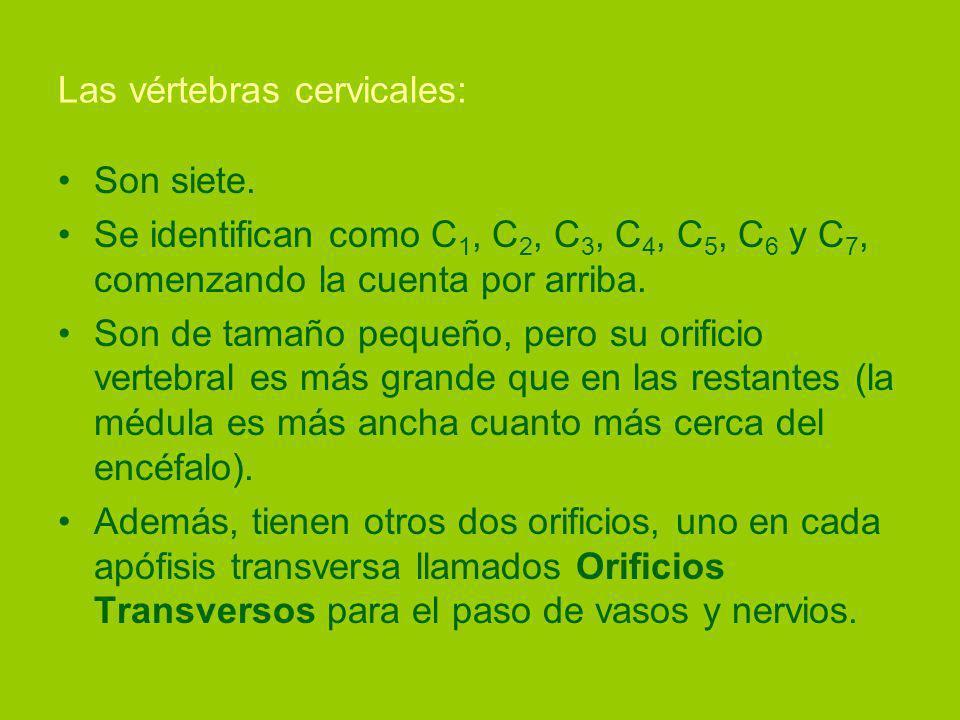 Las vértebras cervicales: