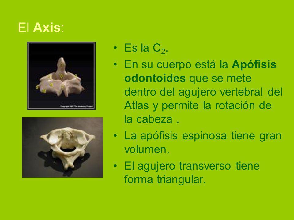 El Axis: Es la C2. En su cuerpo está la Apófisis odontoides que se mete dentro del agujero vertebral del Atlas y permite la rotación de la cabeza .