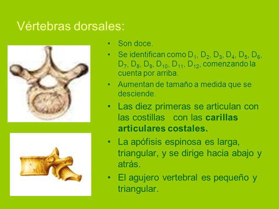 Vértebras dorsales: Son doce. Se identifican como D1, D2, D3, D4, D5, D6, D7, D8, D9, D10, D11, D12, comenzando la cuenta por arriba.