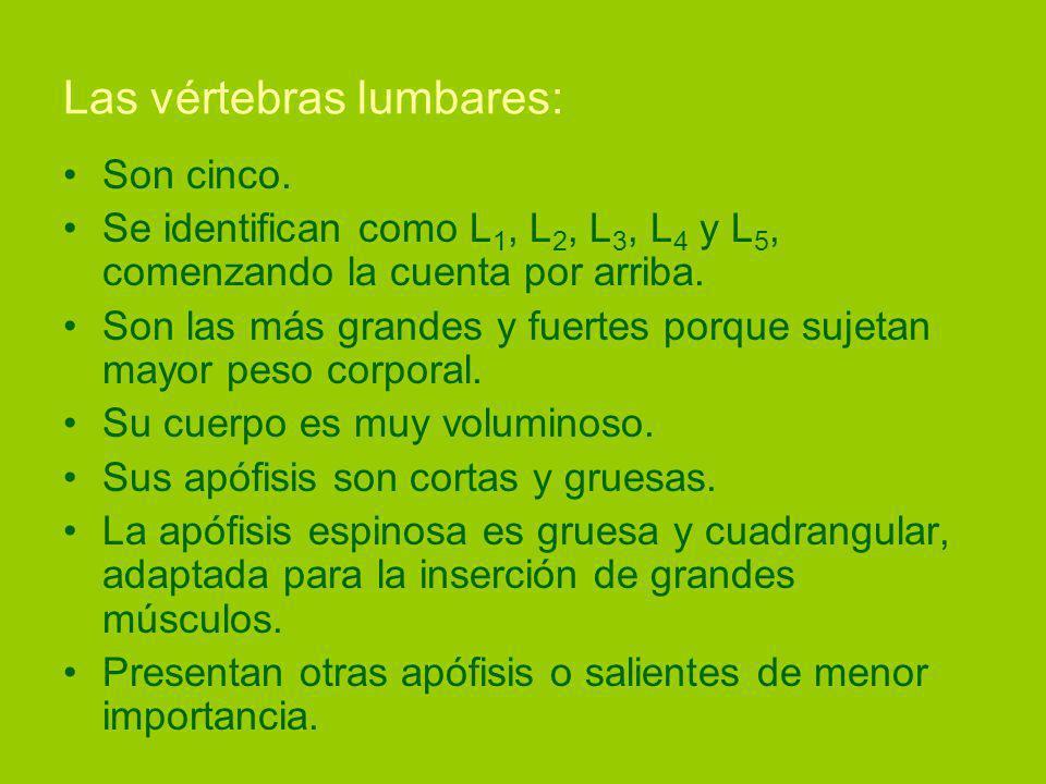 Las vértebras lumbares: