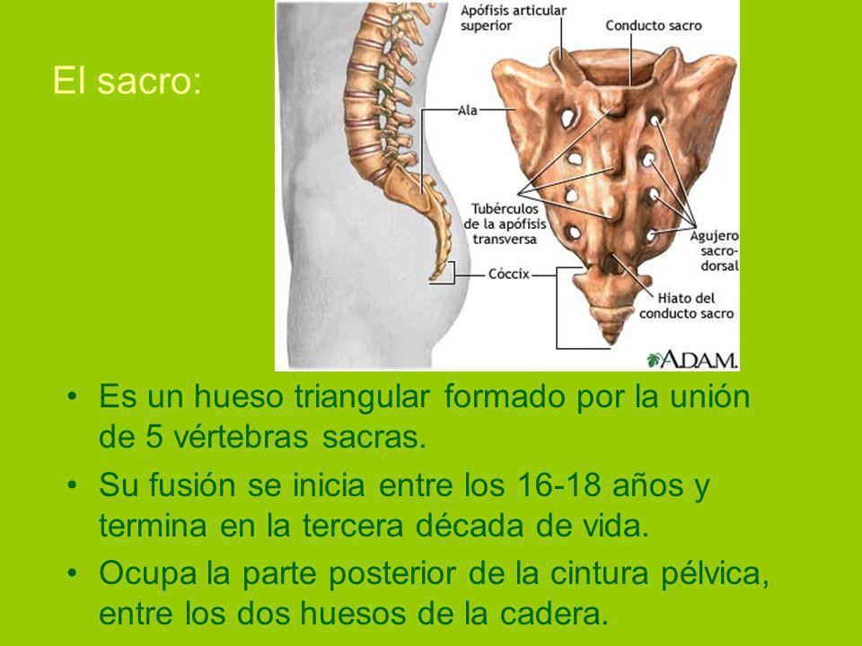 El sacro: Es un hueso triangular formado por la unión de 5 vértebras sacras.