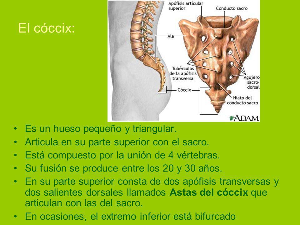 El cóccix: Es un hueso pequeño y triangular.