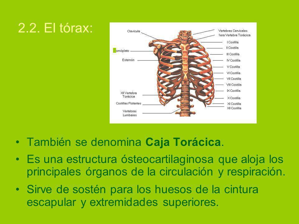 2.2. El tórax: También se denomina Caja Torácica.