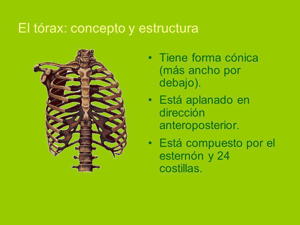 El tórax: concepto y estructura