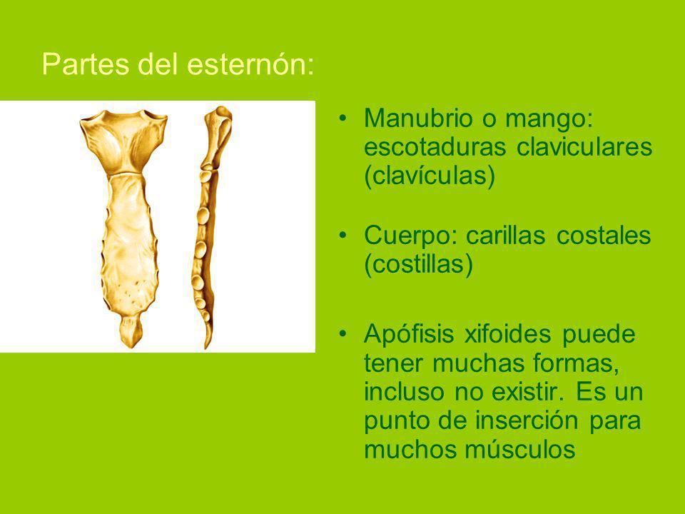 Partes del esternón: Manubrio o mango: escotaduras claviculares (clavículas) Cuerpo: carillas costales (costillas)
