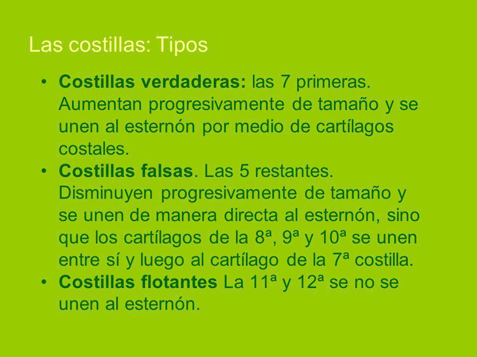 Las costillas: Tipos Costillas verdaderas: las 7 primeras. Aumentan progresivamente de tamaño y se unen al esternón por medio de cartílagos costales.
