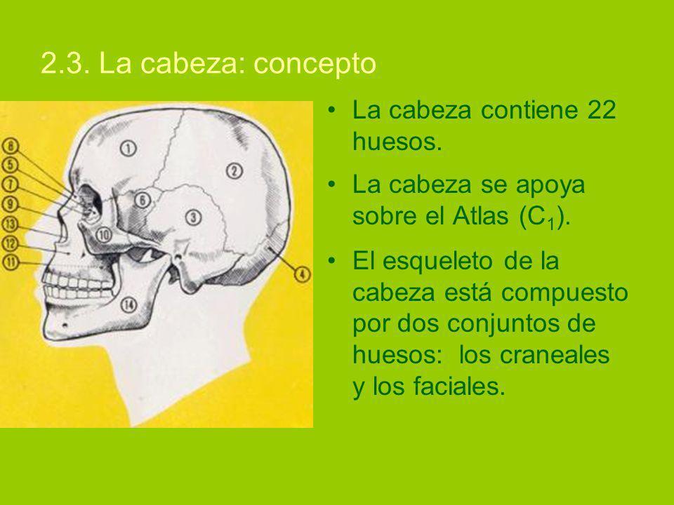 2.3. La cabeza: concepto La cabeza contiene 22 huesos.