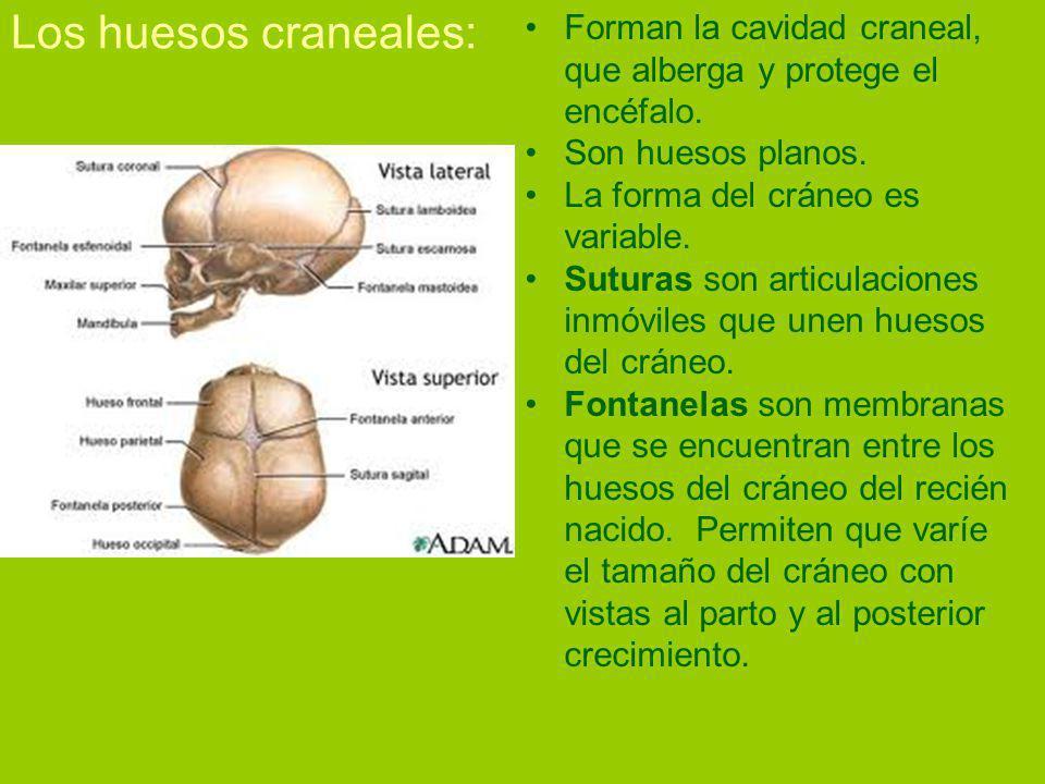 Los huesos craneales: Forman la cavidad craneal, que alberga y protege el encéfalo. Son huesos planos.