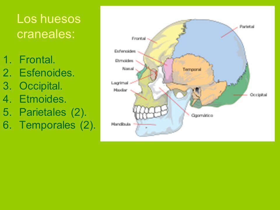 Los huesos craneales: Frontal. Esfenoides. Occipital. Etmoides.