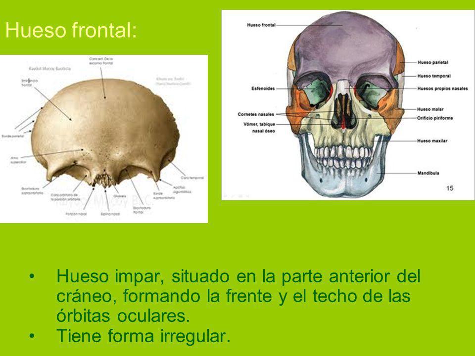 Hueso frontal: Hueso impar, situado en la parte anterior del cráneo, formando la frente y el techo de las órbitas oculares.