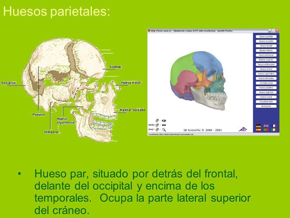 Huesos parietales: