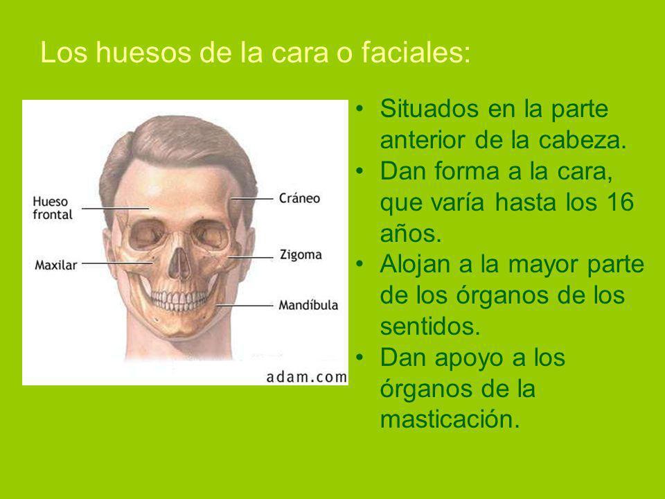 Los huesos de la cara o faciales: