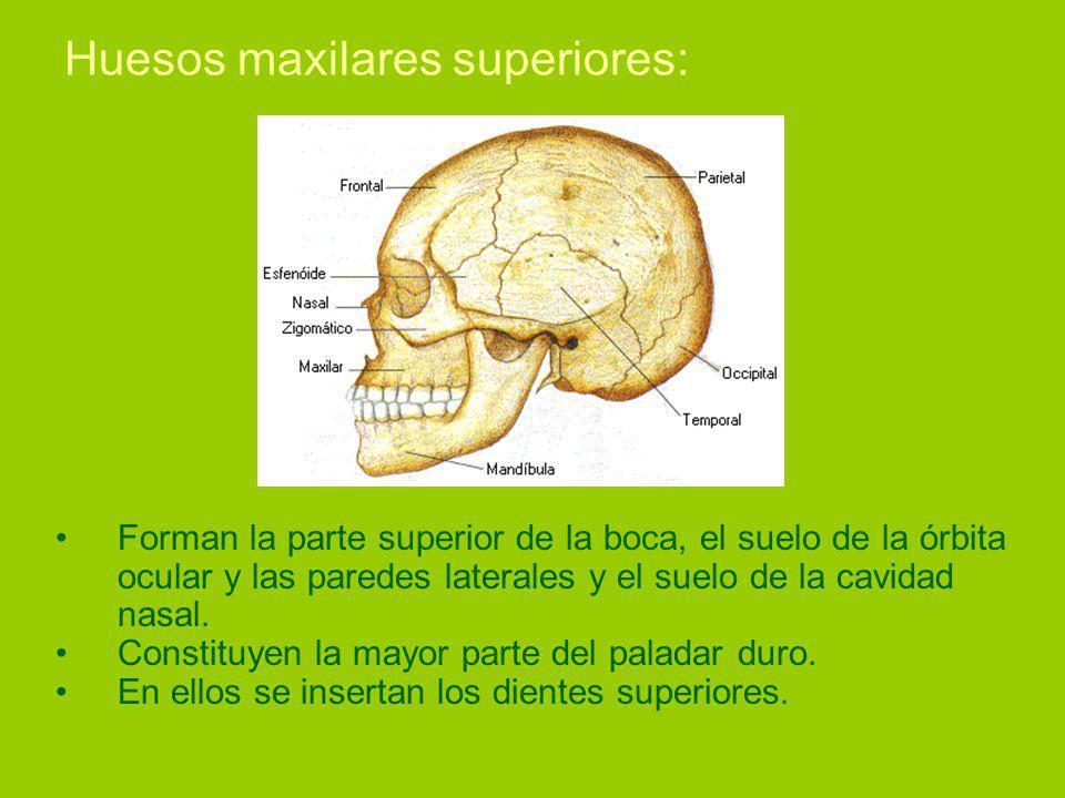 Huesos maxilares superiores: