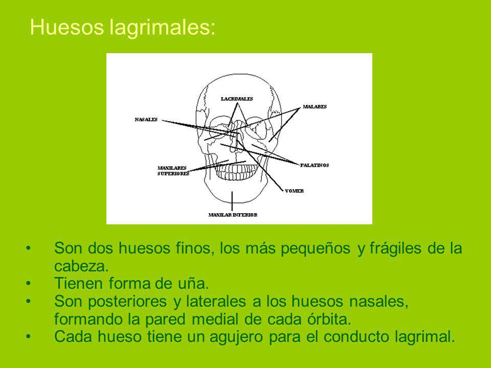 Huesos lagrimales: Son dos huesos finos, los más pequeños y frágiles de la cabeza. Tienen forma de uña.