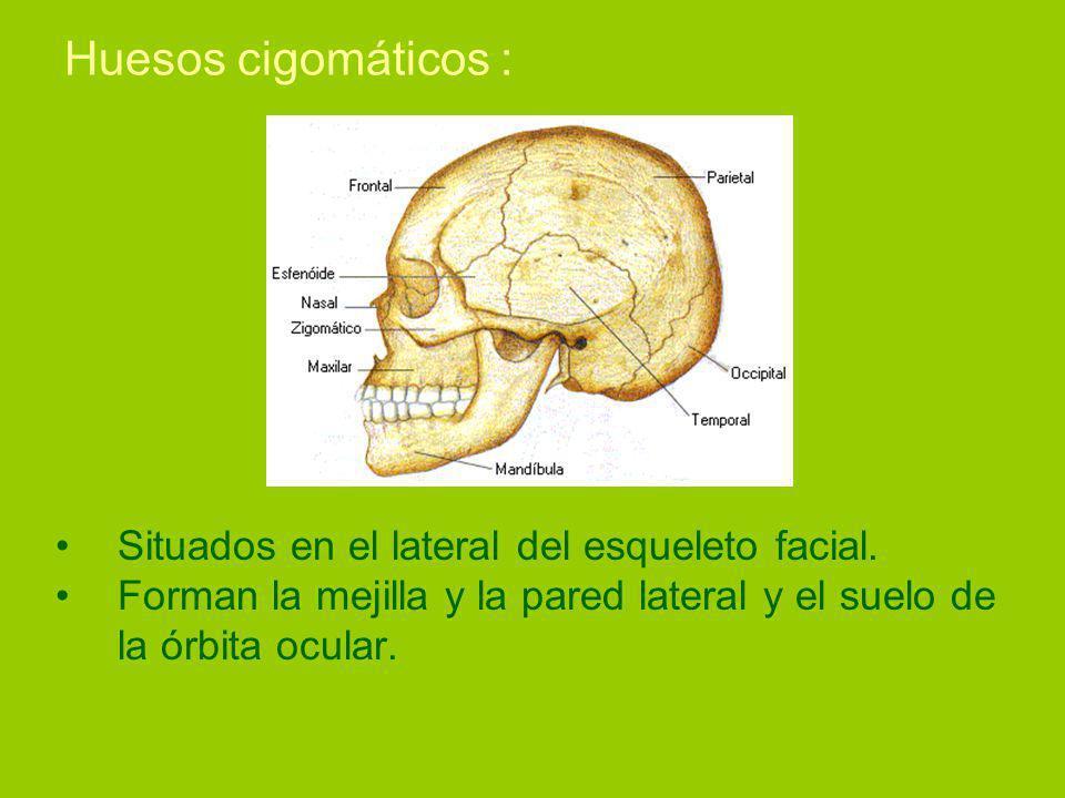 Huesos cigomáticos : Situados en el lateral del esqueleto facial.