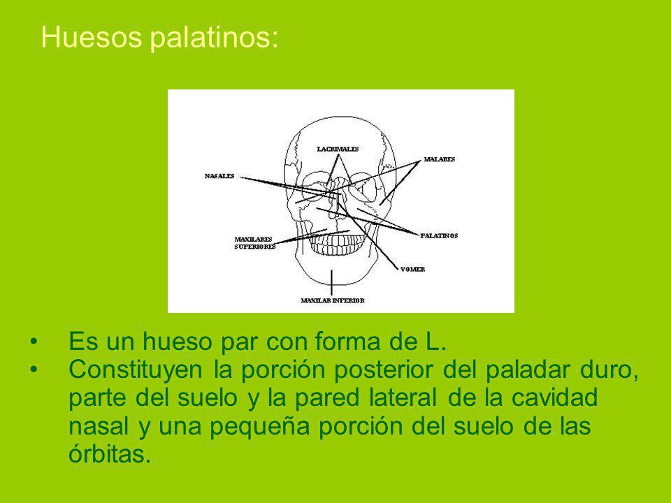 Huesos palatinos: Es un hueso par con forma de L.