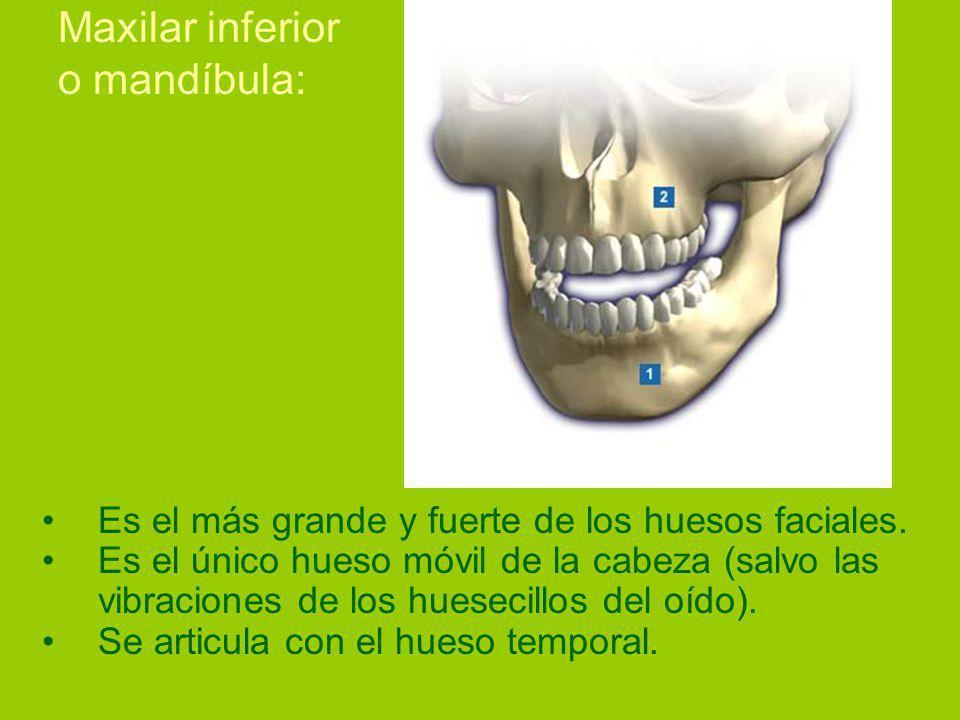 Maxilar inferior o mandíbula: