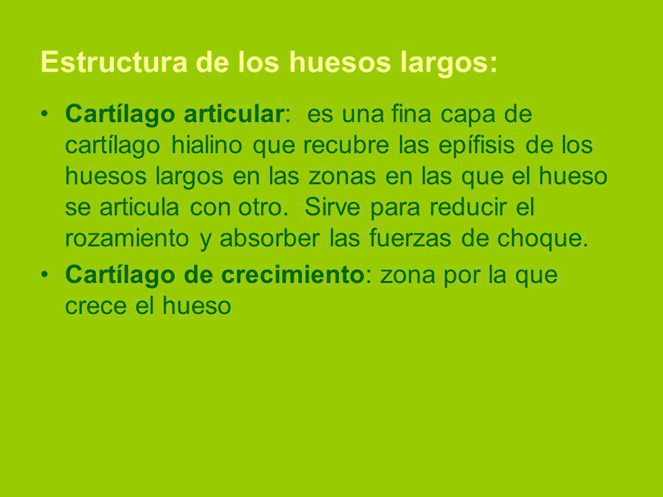 Estructura de los huesos largos: