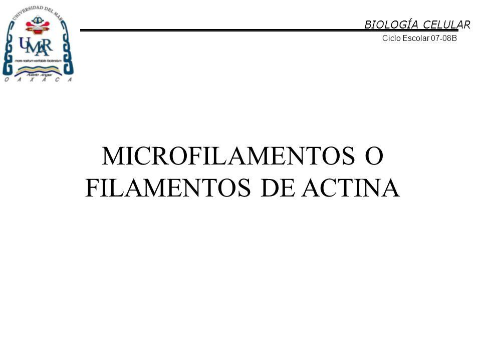 MICROFILAMENTOS O FILAMENTOS DE ACTINA